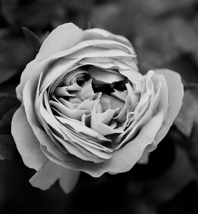 rose-1-bw