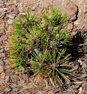 Pinus leucodermis 'Smidt'