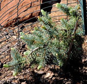 Picea pungens 'Glauca Procumbens'