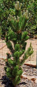 Pinus nigra 'Oregon Green'