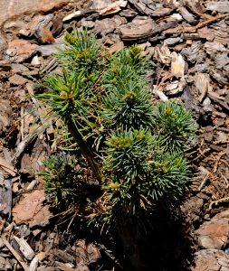 Pinus parviflora 'Kin-Po'