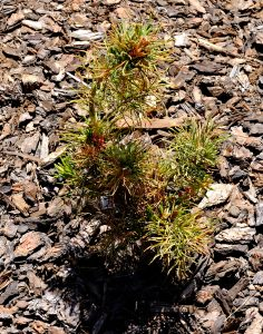 Pinus parviflora 'Tanima-no-uki'