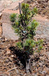 Pinus parviflora 'Pygmy Yatsubusa'